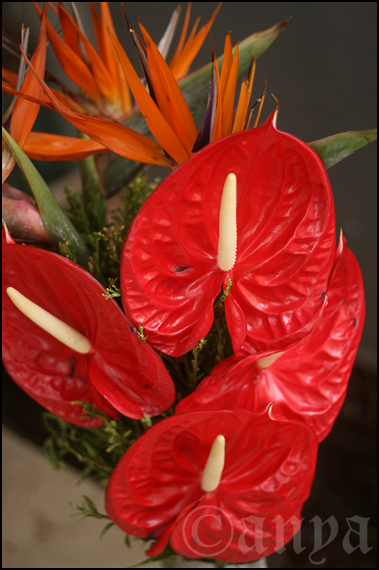 Anniversary anthuriums
